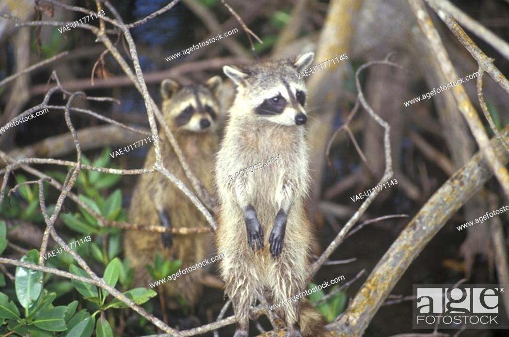 Stock Photo: Two raccoons in wild.