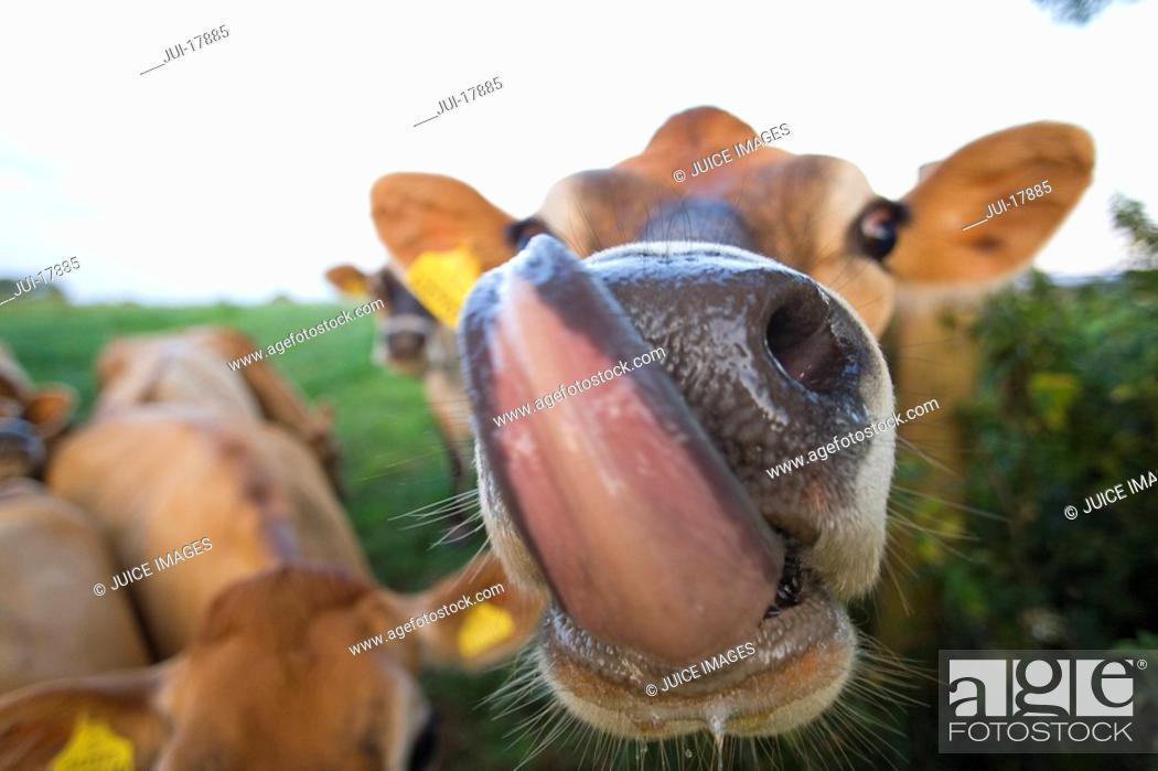Stock Photo: Close up of jersey cow licking lips.