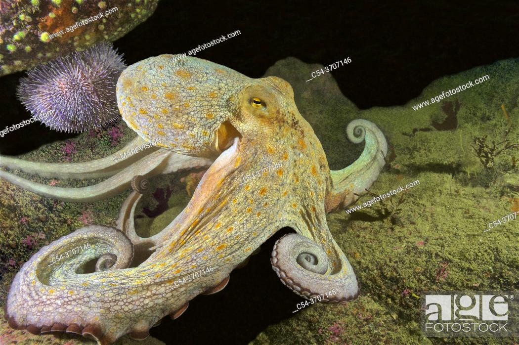 Photo de stock: Octopus (Octopus vulgaris). Eastern Atlantic. Galicia. Spain. Europe.