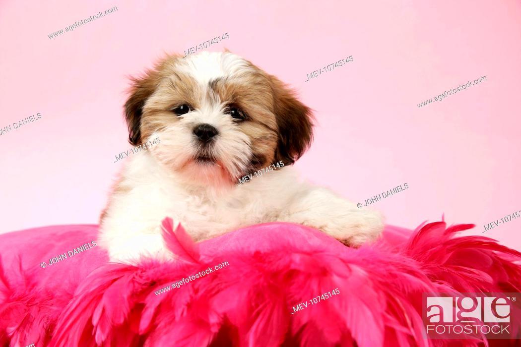 Dog Shih Tzu 10 Week Old Puppy On Pink Cushion Stock Photo