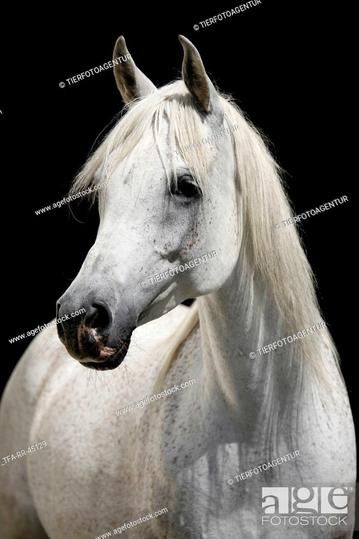 Arabian Horse Portrait Stock Photo Picture And Rights Managed Image Pic Tfa Rr 45129 Agefotostock