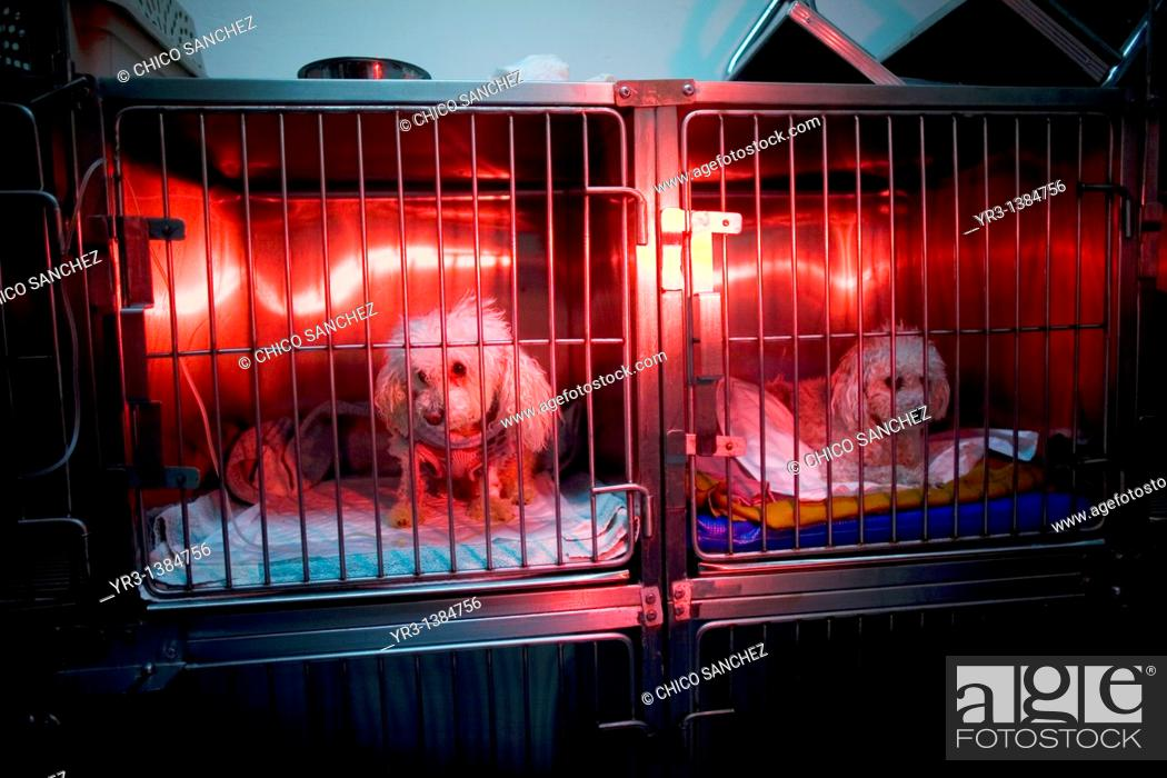 Photo de stock: Dogs are warmed using a red lamp as he recovers from an illness at a Pet Hospital in Condesa, Mexico City, Mexico, February 4, 2011.
