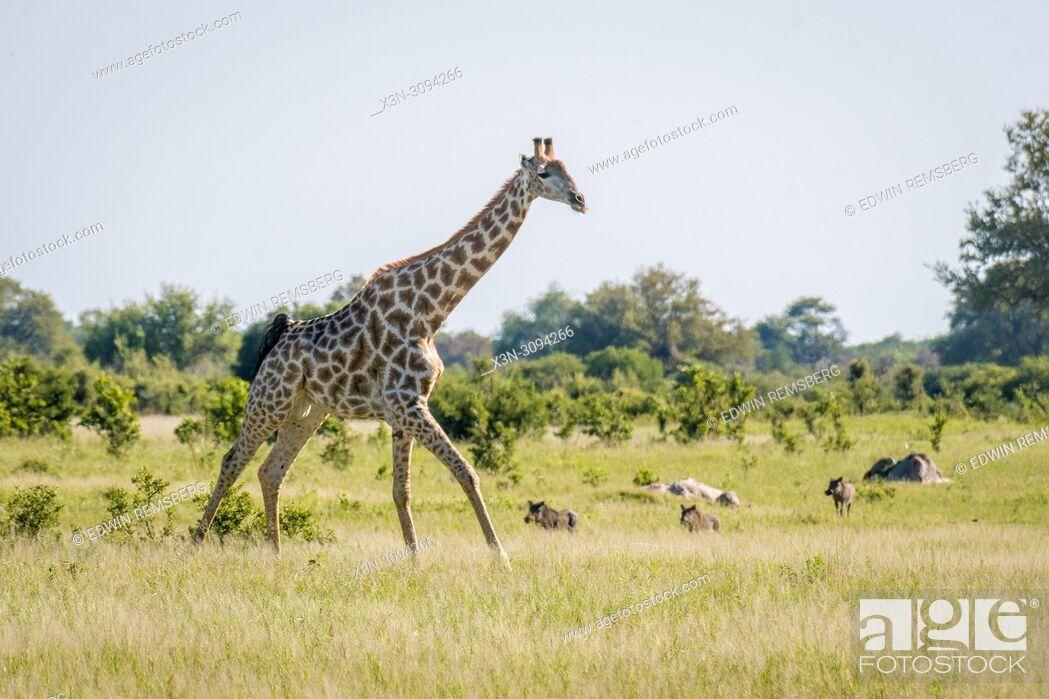 Stock Photo: A giraffe runs through the grassland of Zimbabwe where warthogs stand nearby. Zimbabwe.