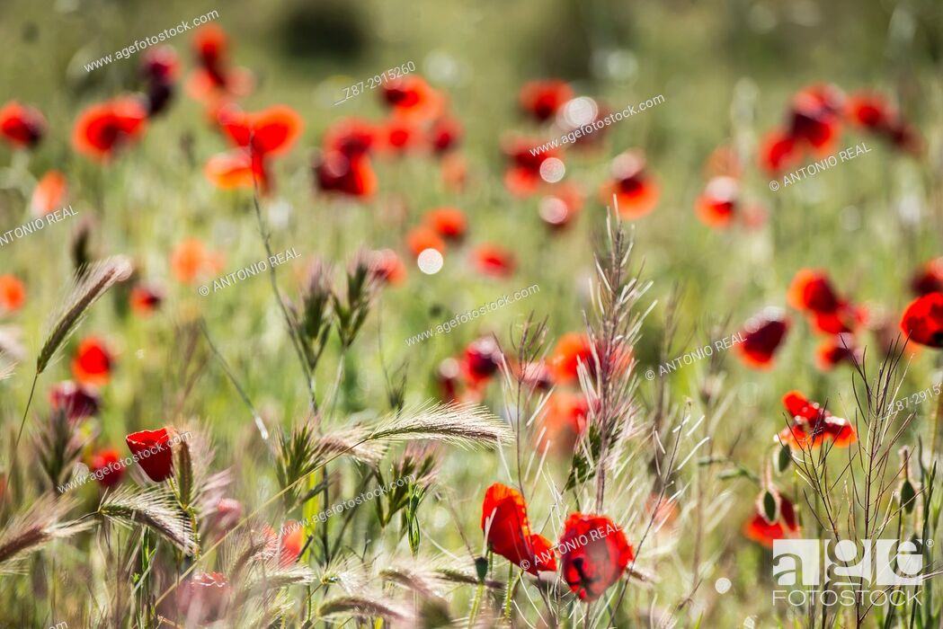Stock Photo: Poppies (Papaver rhoeas). Almansa. Albacete, Spain.