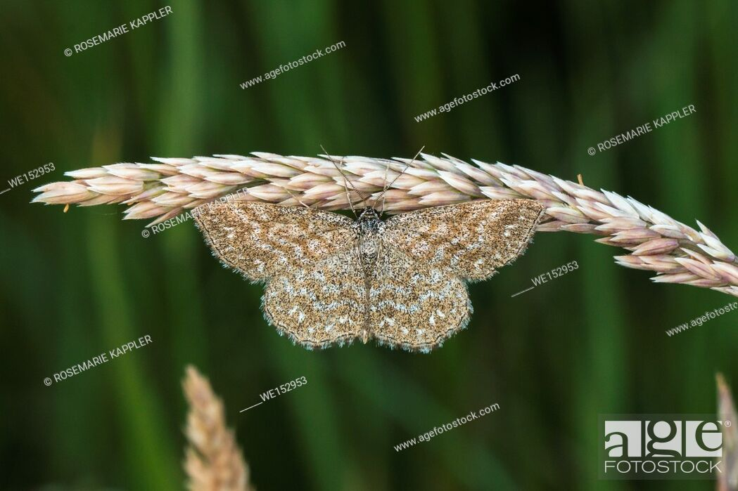 Stock Photo: A lewes moth is sitting on a grass-stock.
