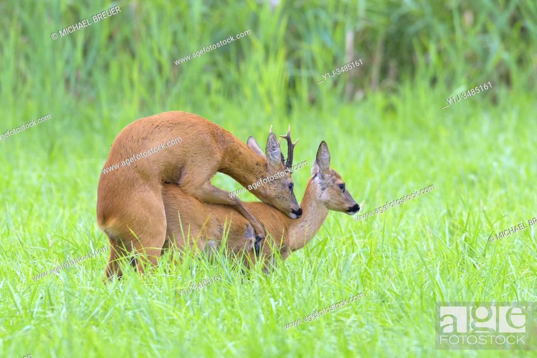 Stock Photo: Western roe deers (Capreolus capreolus) at the mating, Hesse, Germany, Europe.