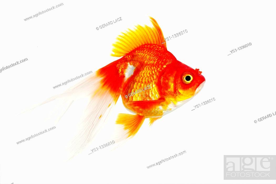 Stock Photo: Ryukin Goldfish, carassius auratus, Adult Against White Background.