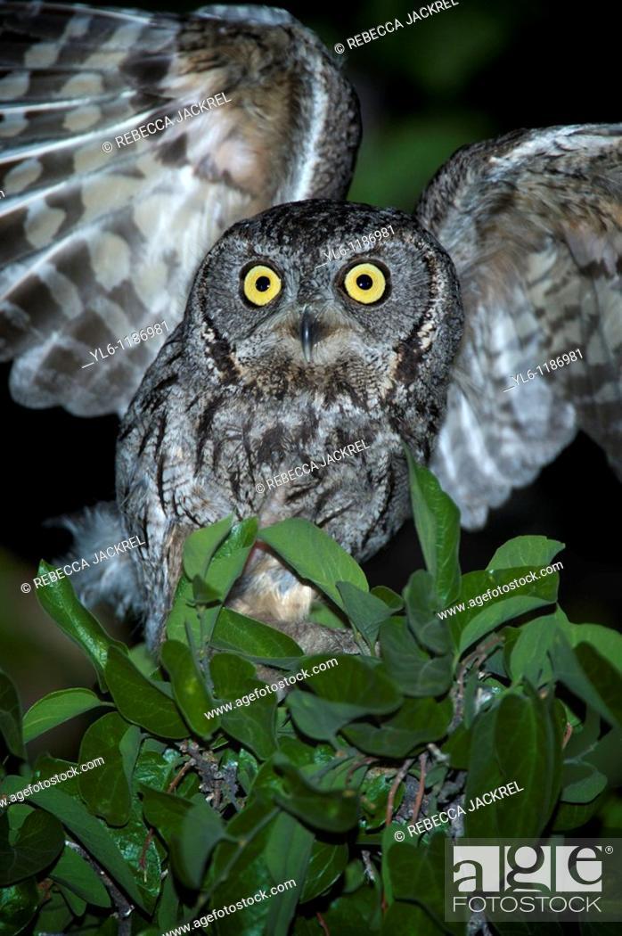 Stock Photo: North America, USA, Arizona, Madera Canyon  Western Screech Owl taking flight.