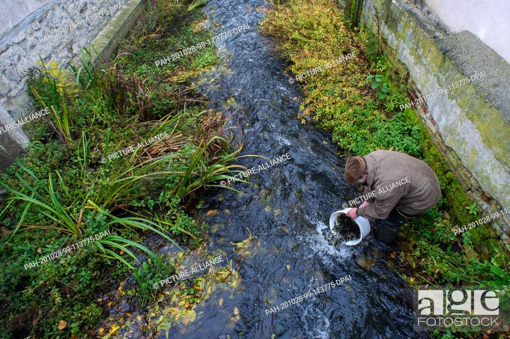 Stock Photo: 28 October 2020, Saxony-Anhalt, Zerbst/Anhalt: Robert Frenzel stands in the groove and carefully places young salmon in the water with a bucket.