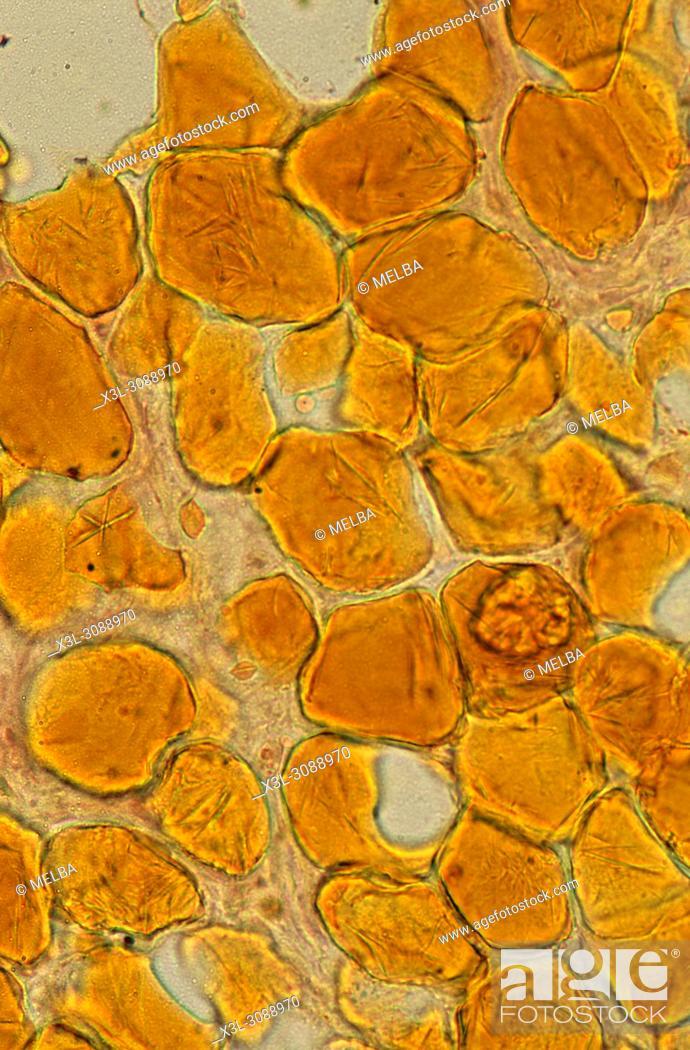 Stock Photo: Adypocites. Adipose tissue. 150x.