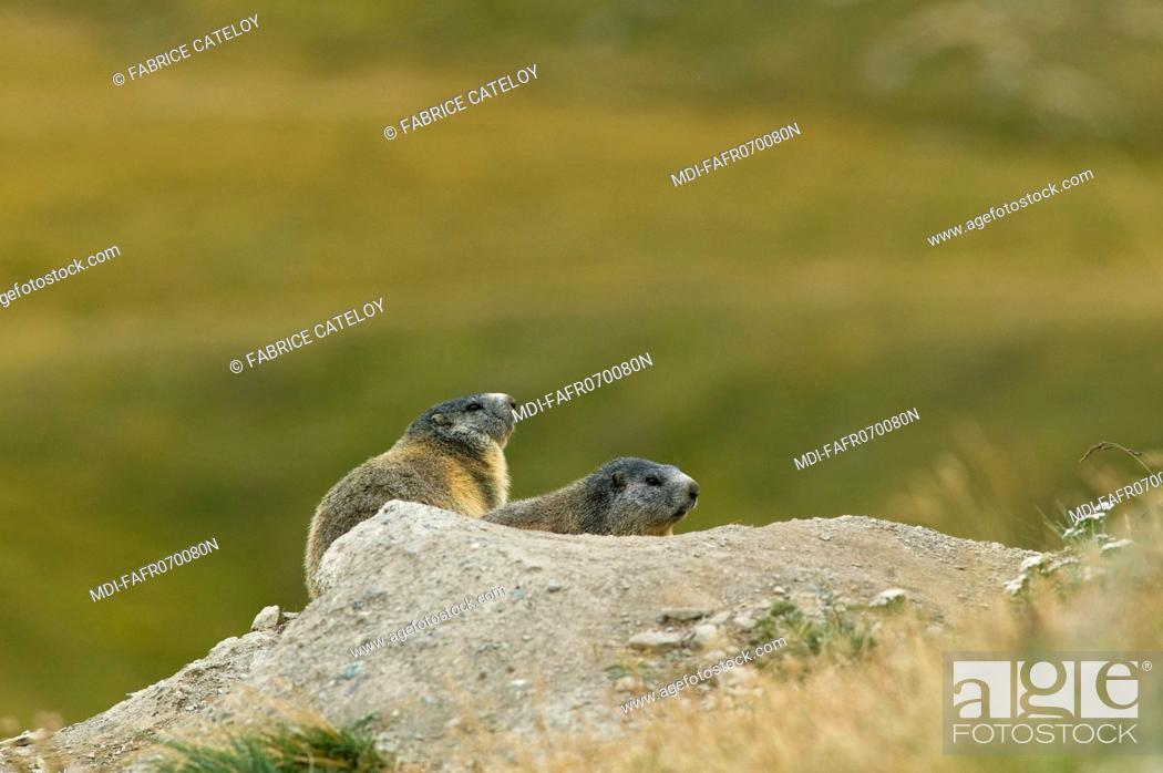 Stock Photo: Couple of marmots at the entry of their burrow in the natural regional park of Queyras.
