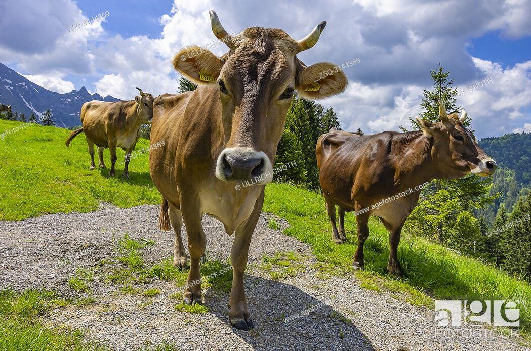 Photo de stock: Cows with properly attached ear tags graze on a mountain meadow in the Swiss Alps near Urnäsch and Schwägalp, Canton Appenzell Ausserrhoden, Switzerland.