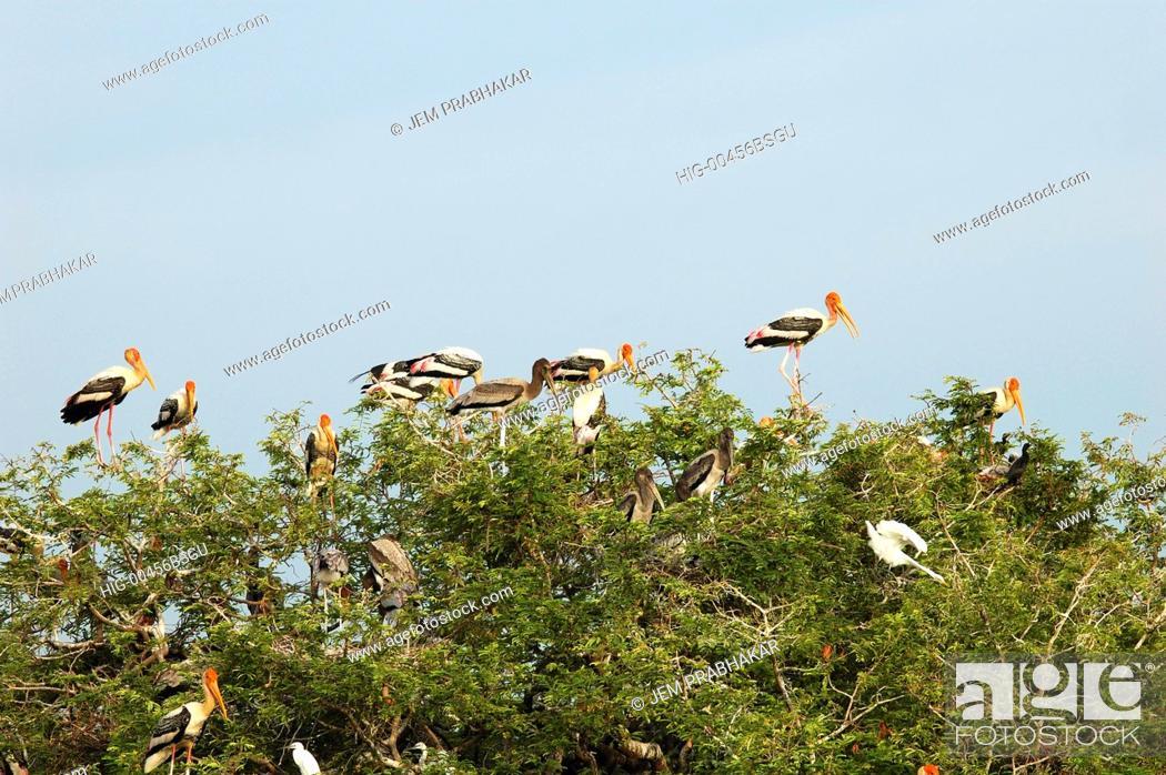 Stock Photo: PAINTED STORKS IN KOONTHAKULAM BIRD SANCTUARY NEAR TIRUNELVELI, TAMILNADU, INDIA.
