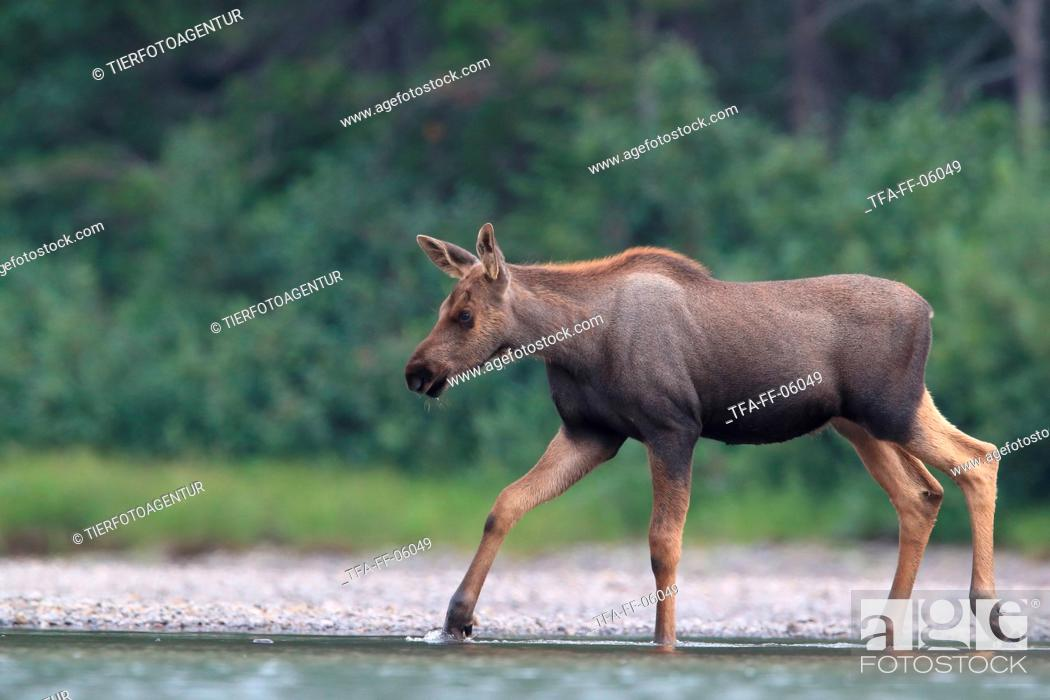Stock Photo: moose.