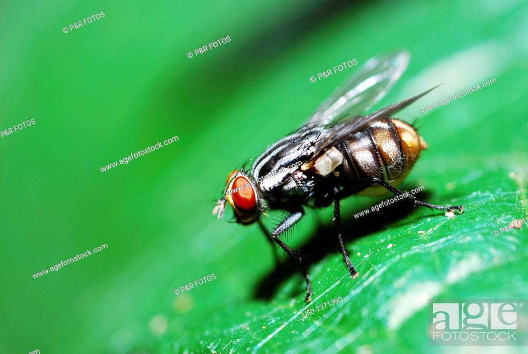 Stock Photo: Fly on leaf Diptera, Sarcophagidae, 2009.