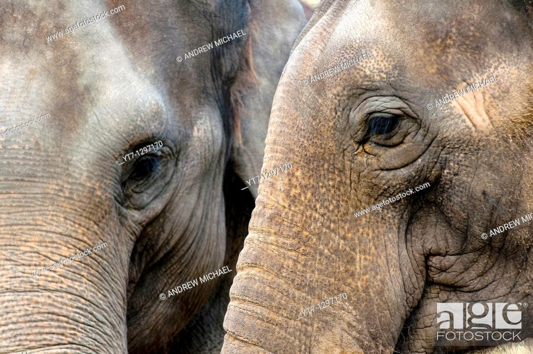 Stock Photo: Two Indian elephants closeup.