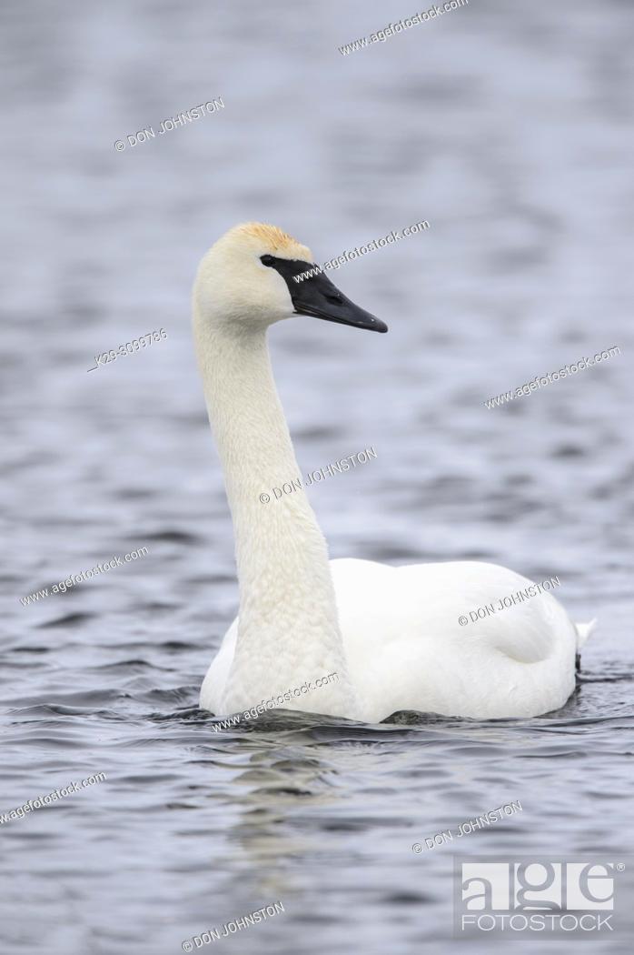 Stock Photo: Trumpeter swan (Cygnus buccinator), Fielding Park Sanctuary, Greater Sudbury, Ontario, Canada.