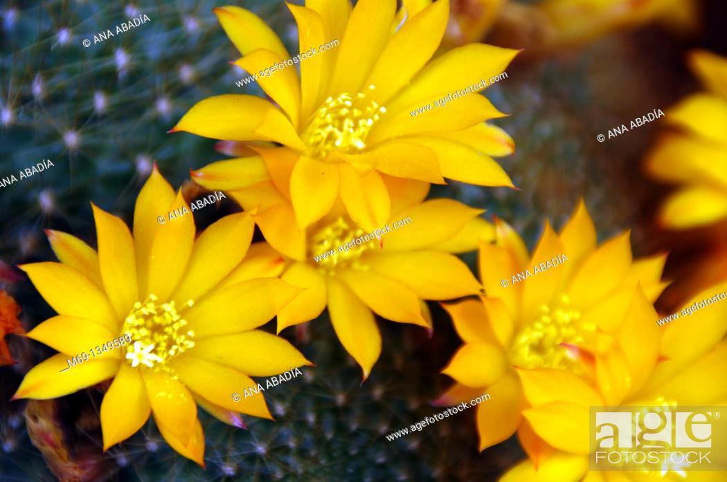Stock Photo: Yelow flowers of cactus.
