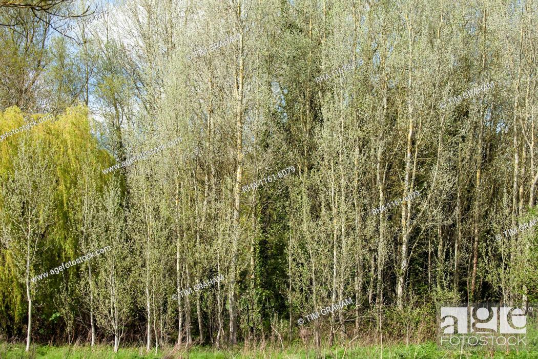 Stock Photo: Copse of White Poplar trees, also known as Silver Poplar or Silverleaf Poplar, Populus alba, in Eastleach Turville in the Cotswolds, UK.