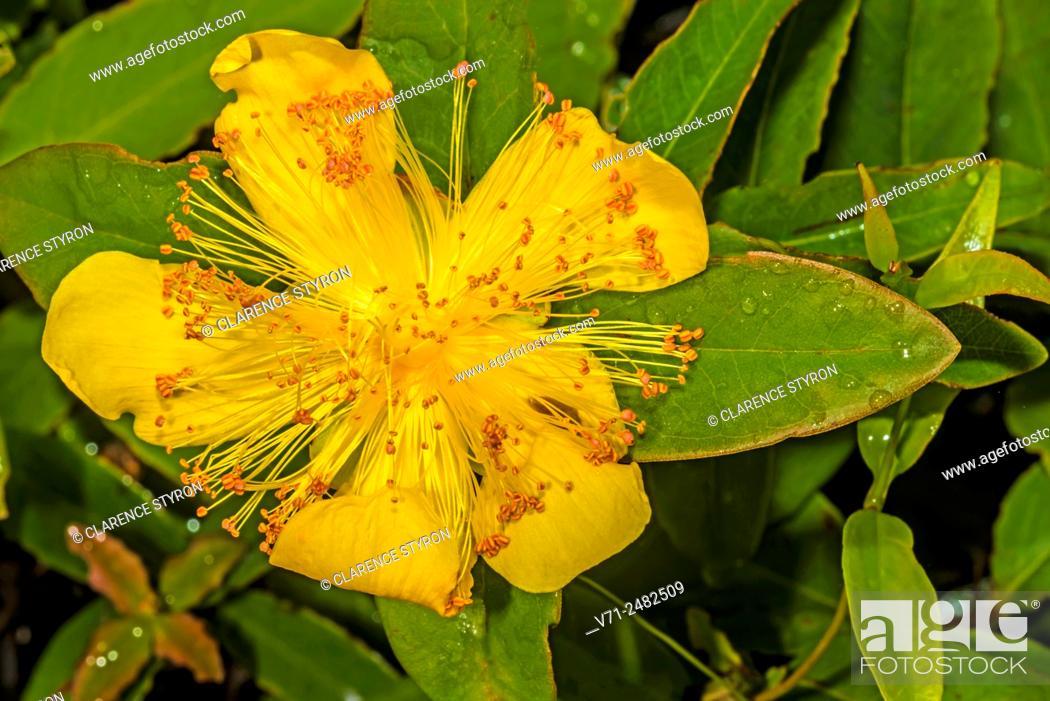 Stock Photo: St. John's Wort (Hypericum reductum) in Flower.