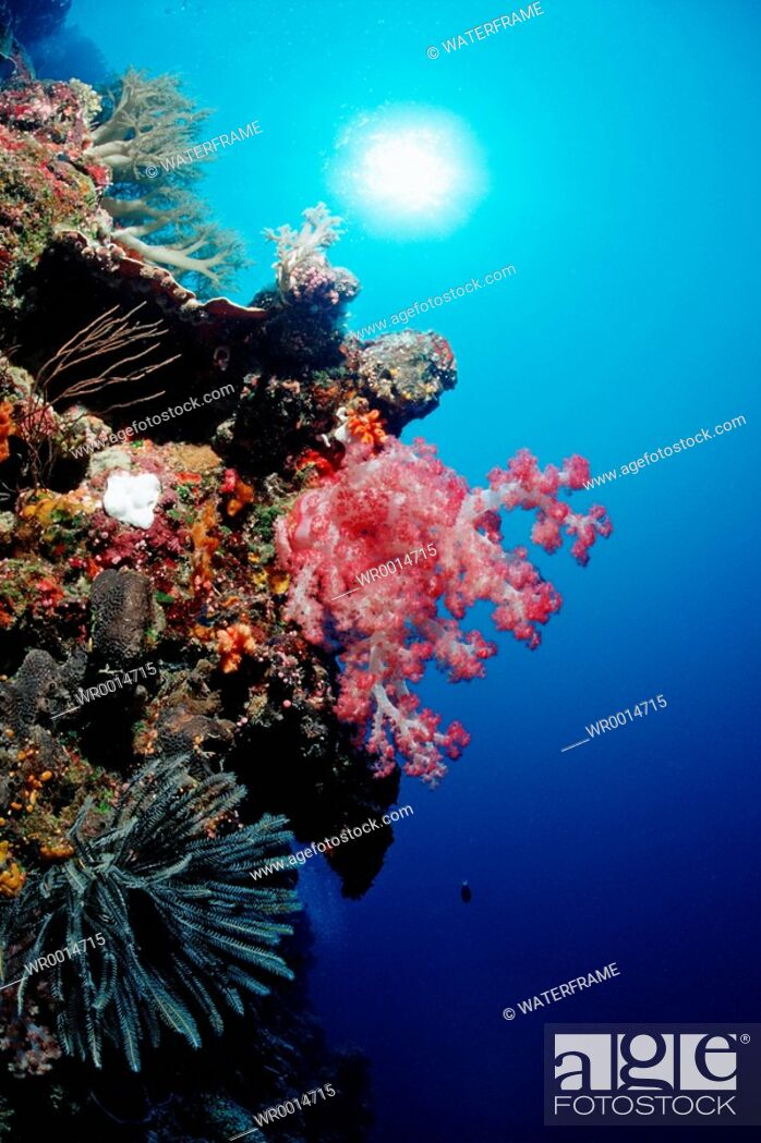 Imagen: Red Soft Coral in coral Reef, Dendronephthya spec., Pacific, Micronesia, Palau.