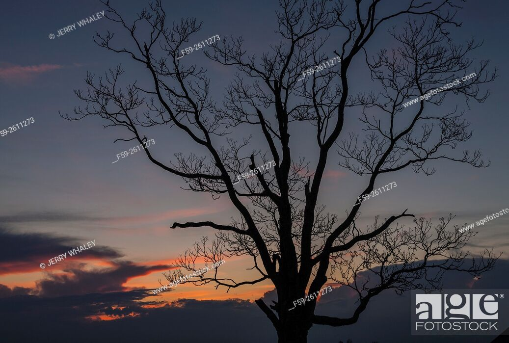 Stock Photo: Trees silhouetted in the evening sky.