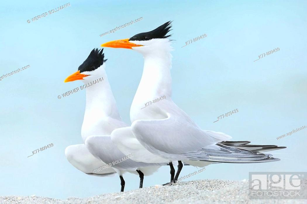 Photo de stock: Royal Terns (Sterna maxima), Displaying. Sanibel Island, Florida, USA.