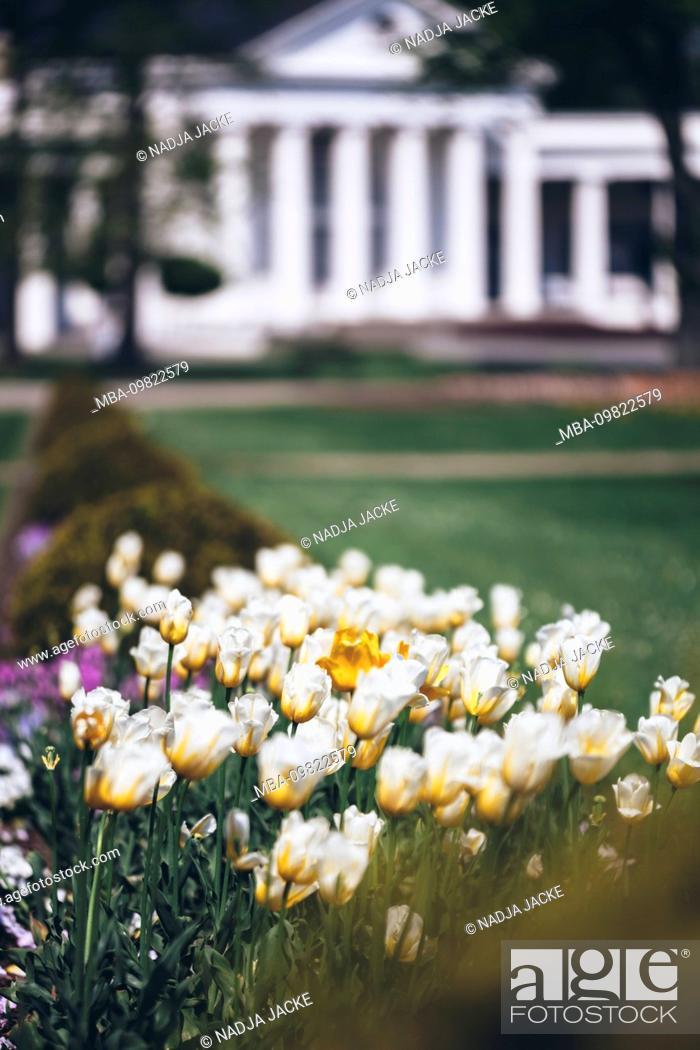 Stock Photo: Blooming tulip field.