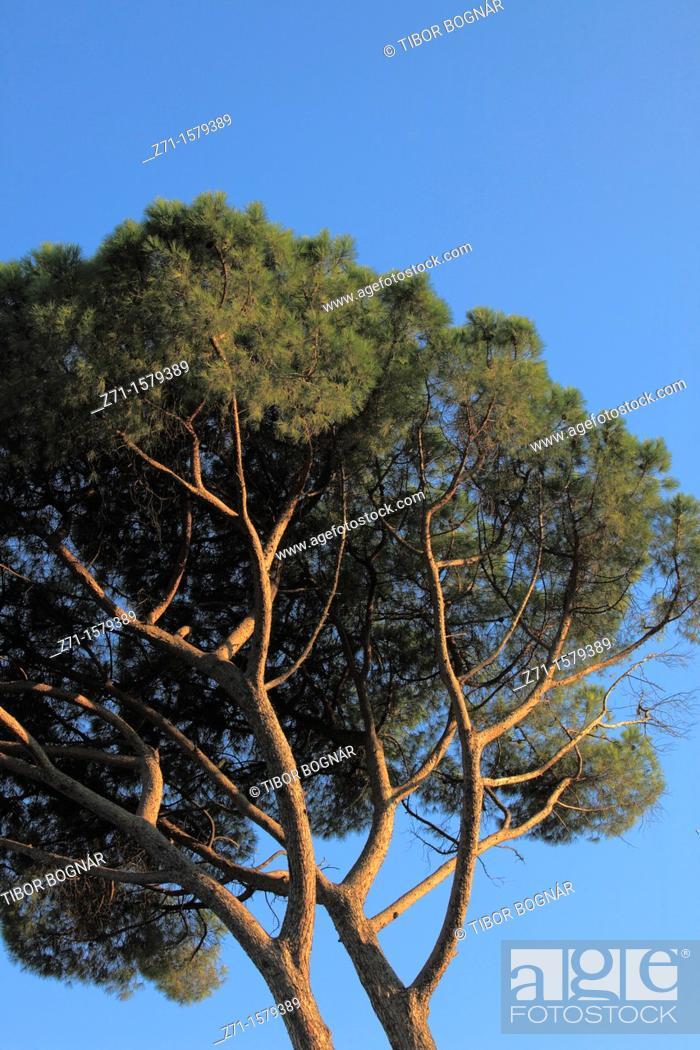 Stock Photo: Italy, Lazio, Rome, mediterranean pine tree,.