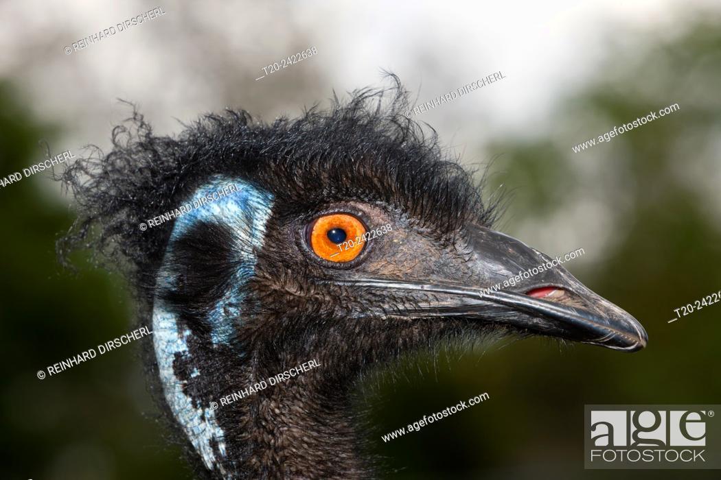 Stock Photo: Head of Emu, Dromaius novaehollandiae, Brisbane, Australia.