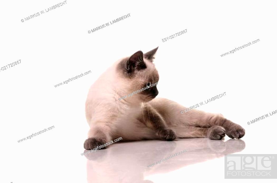 Photo de stock: Portrait of British Shorthair cat.