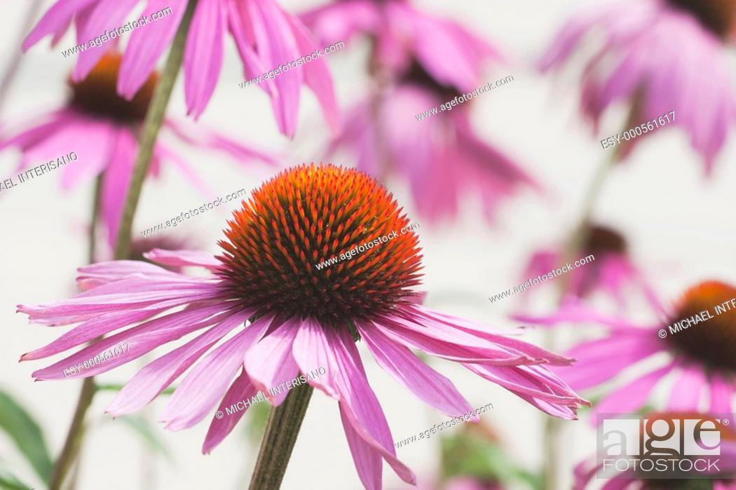 Stock Photo: calgary, alberta, canada, echinacea echinacea pallida flowers.