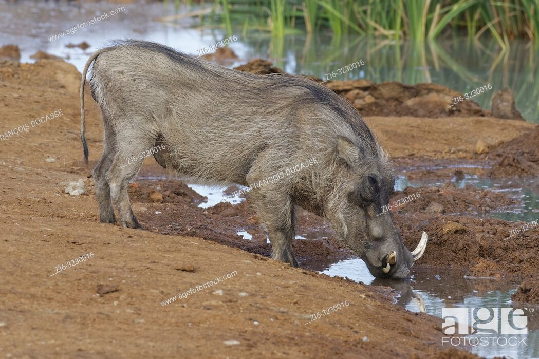 Stock Photo: Common warthog (Phacochoerus africanus), adult male, drinking at a waterhole, Addo Elephant National Park, Eastern Cape, South Africa, Africa.
