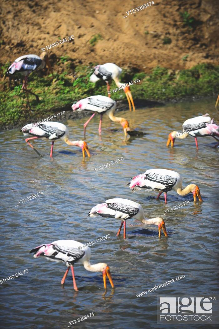 Stock Photo: Painted storks (Mycteria leucocephala) in the water. Udawalawe National Park, on the boundary of Sabaragamuwa and Uva Provinces, in Sri Lanka.