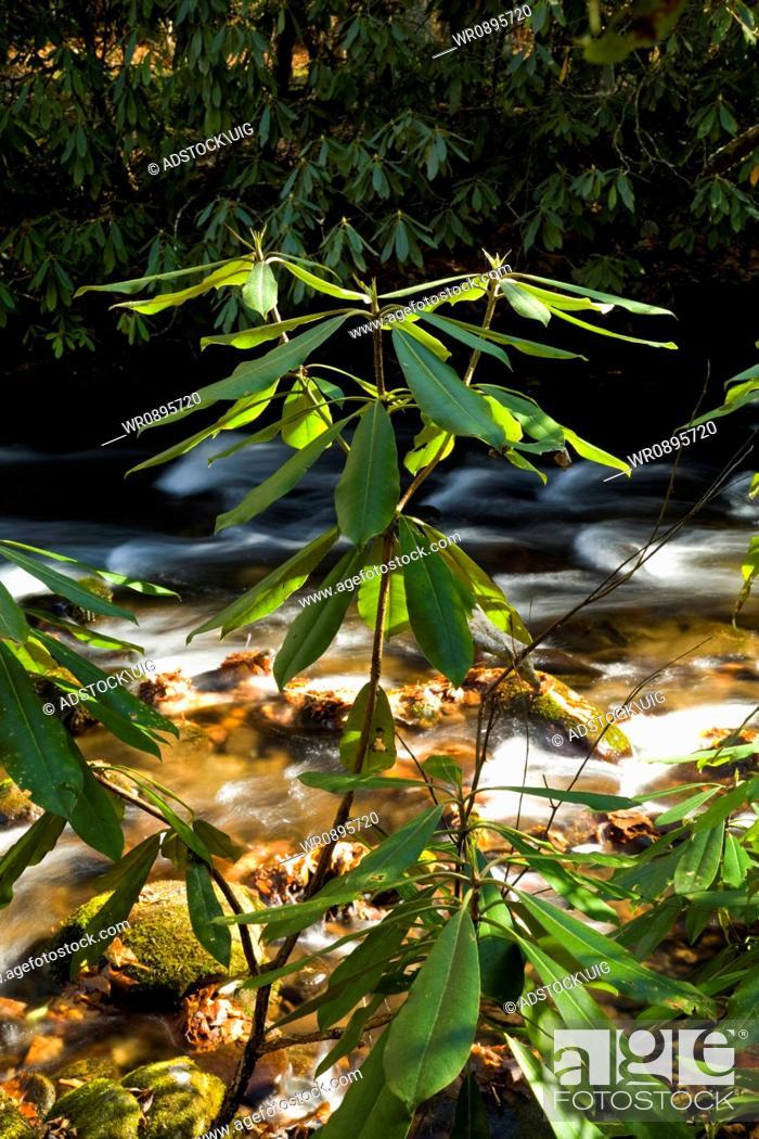 Stock Photo: Rhododendron Cataloochee Cove, Great Smoky Mtns NP, North Carolina.