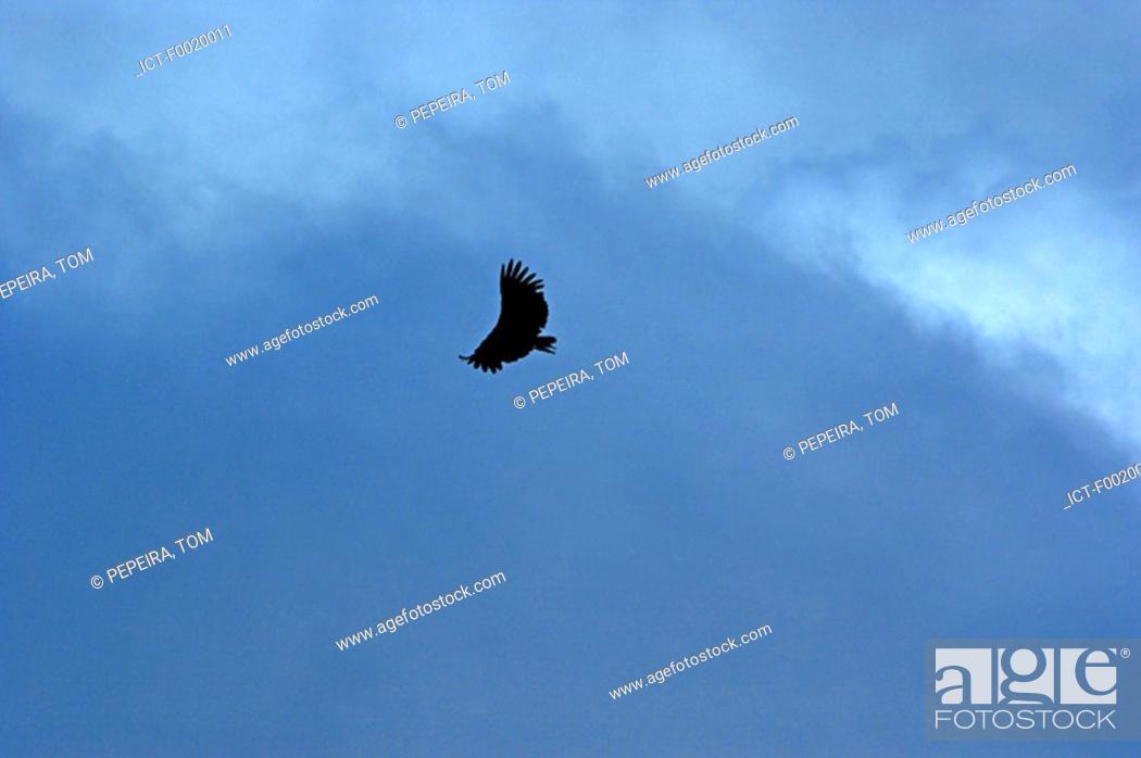 Stock Photo: Costa Rica, Poas Volcano National Park, flying eagle.