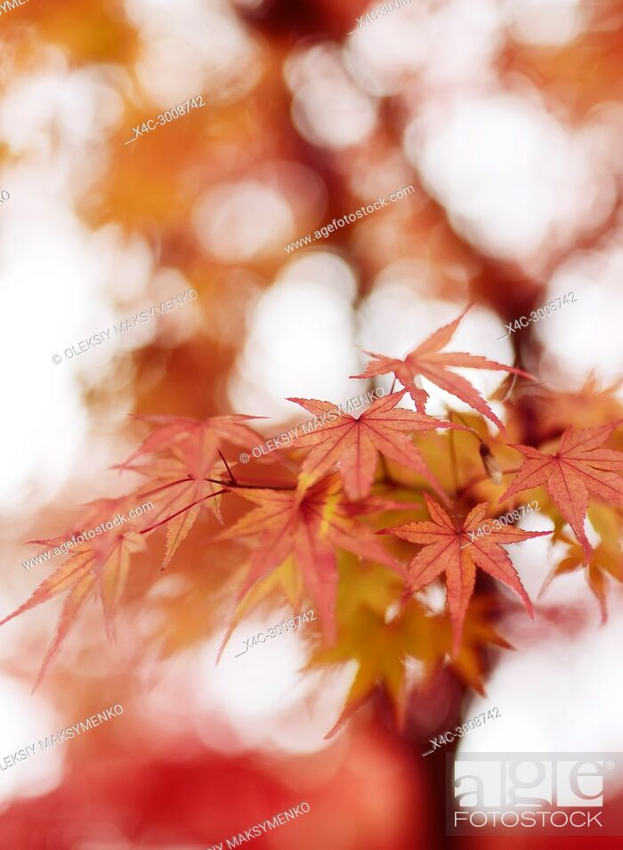 Stock Photo: Beautiful artistic closeup of Japanese maple, Acer palmatum, red leaves glowing in autumn misty sunlight, abstract background, Kyoto, Japan.
