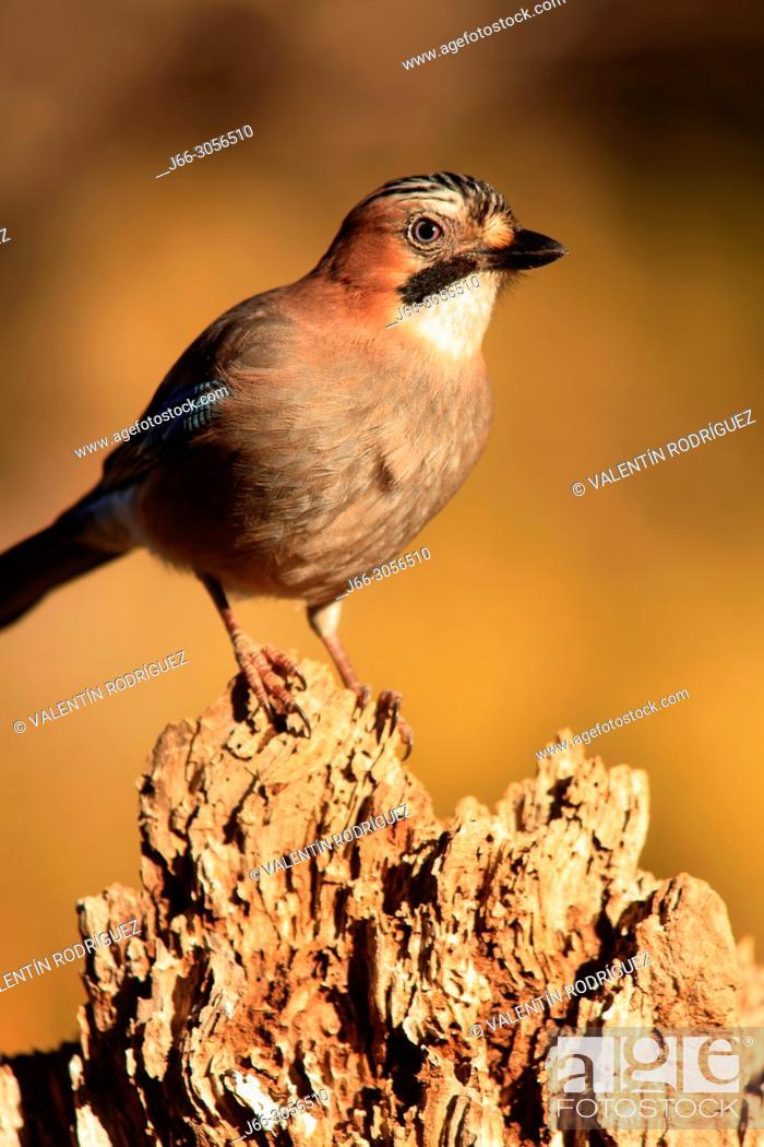 Imagen: Jay (Garrulus glandarius) in the Los Serranos region. Valencia.