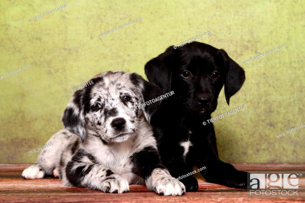 Stock Photo: 2 Australian-Shepherd-Labrador-Mongrel Puppies.