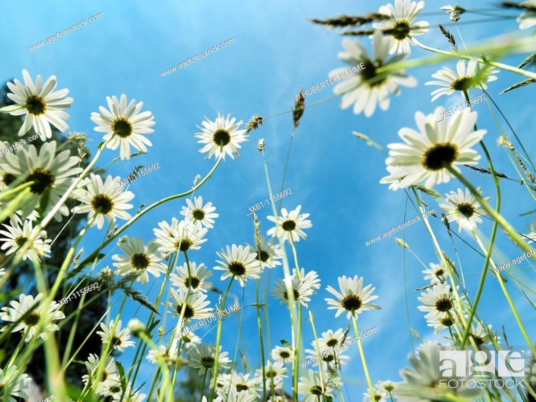 Stock Photo: meadow with oxeye daisy, margherites, low angle shot, worm's eye view.