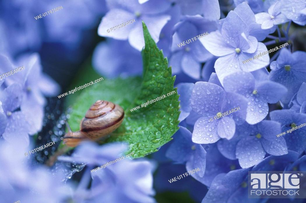 Stock Photo: Snail On Hydrangea.