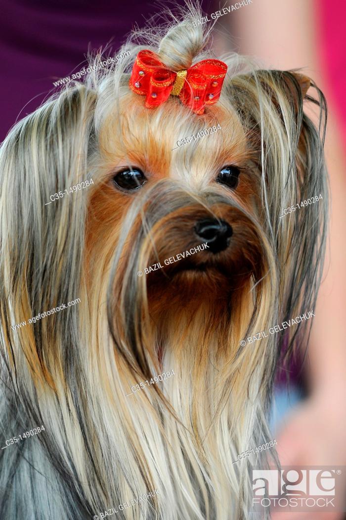 Stock Photo: Dog Yorkshire Terrier.