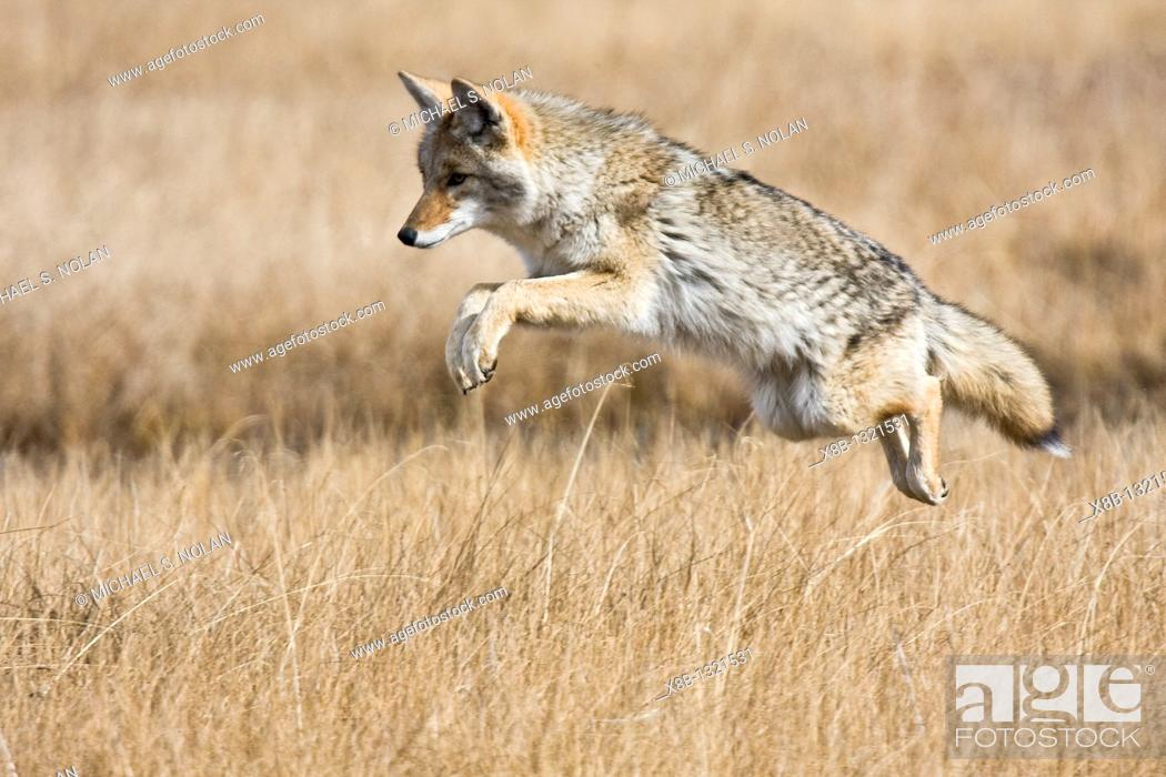 Stock Photo: Adult coyote Canis latrans searching for prey in tall grasses in Yellowstone National Park, Wyoming, USA.
