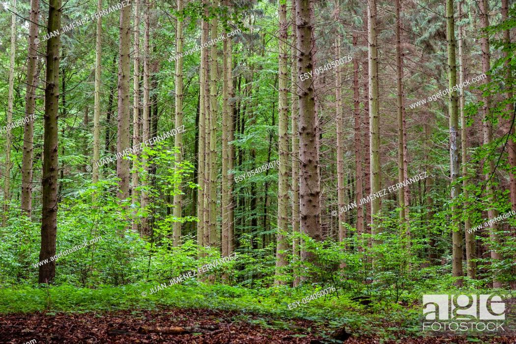 Stock Photo: Woodland area of Granitz with European beech, Fagus sylvatica, and sessile oak, Quercus petraea, in Southeast Rugen Biosphere Reserve, Germany.