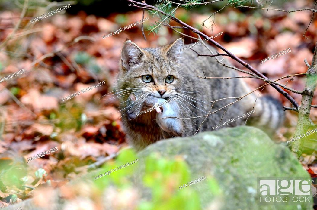 Stock Photo: Local animals, Endemically, Felis silvestris, predators, predatory game, animals, W, game, wild cats, wildcat, wildcats, wildcats in the spring, wild animals.