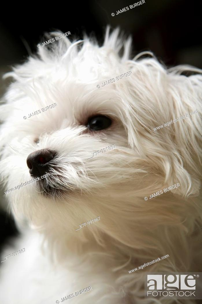 Stock Photo: Little White Dog.