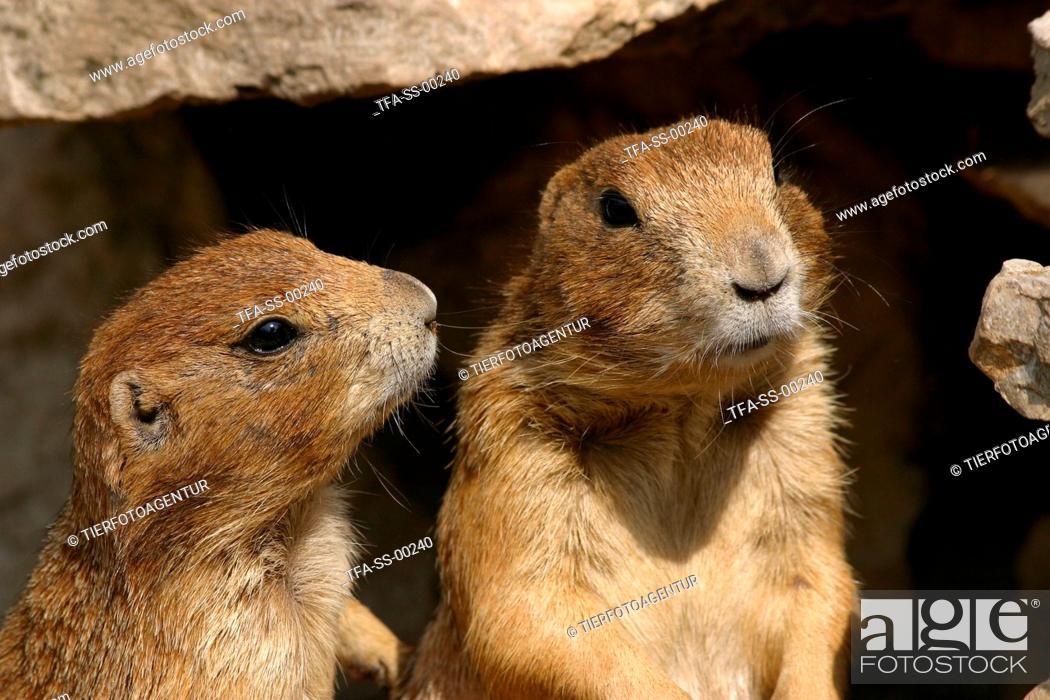 Stock Photo: 2 prairie dogs.