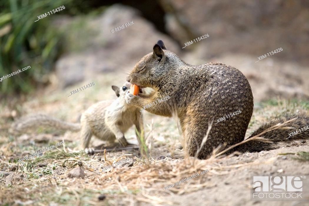 Stock Photo: California Ground Squirrel (Spermophilus beecheyi) baby attempts to recover its food from an adult squirrel at Alameda's Crown Beach.
