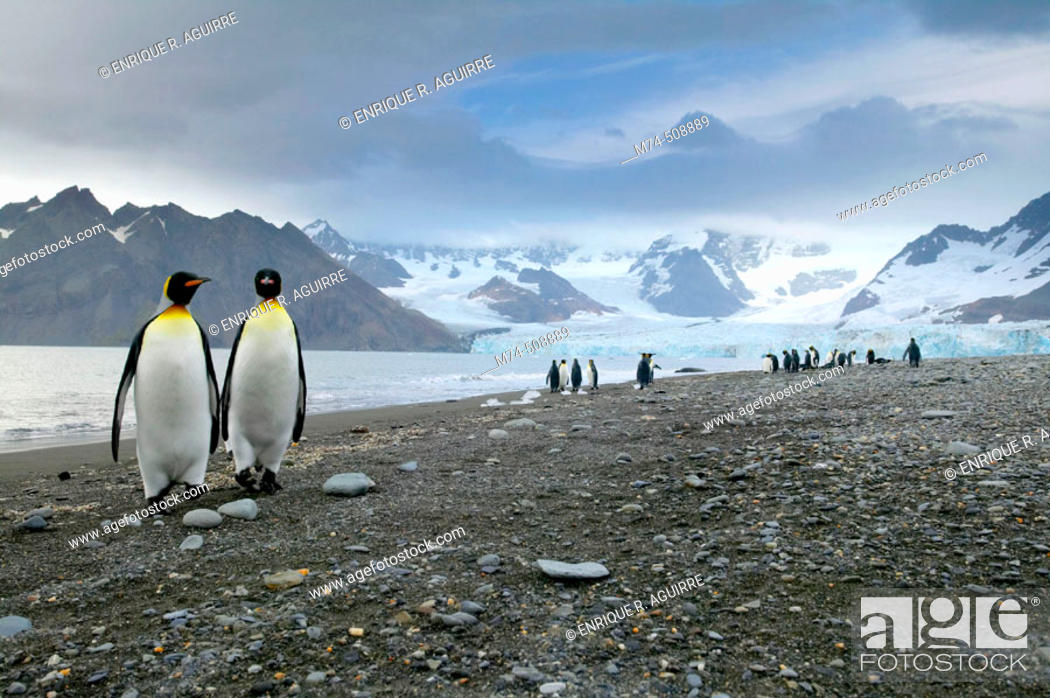 Stock Photo: King Penguin (Aptenodytes patagonicus) Royal Bay with Weddel glacier in the background South Georgia. UK.
