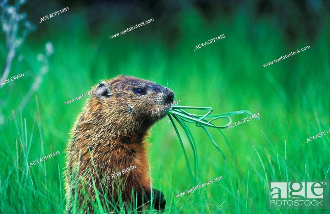 Stock Photo: Woodchuck Groundhog Marmota monax chewing on grass while it looks around, Prince Edward Point National Wildlife Area, Ontario, Canada.